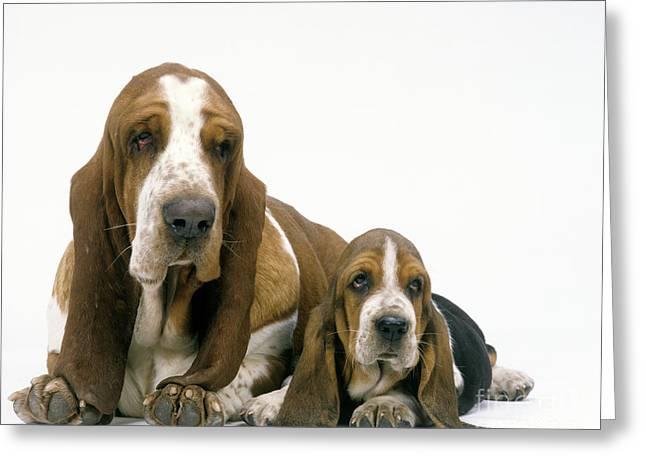 Basset Hound Dogs Greeting Card