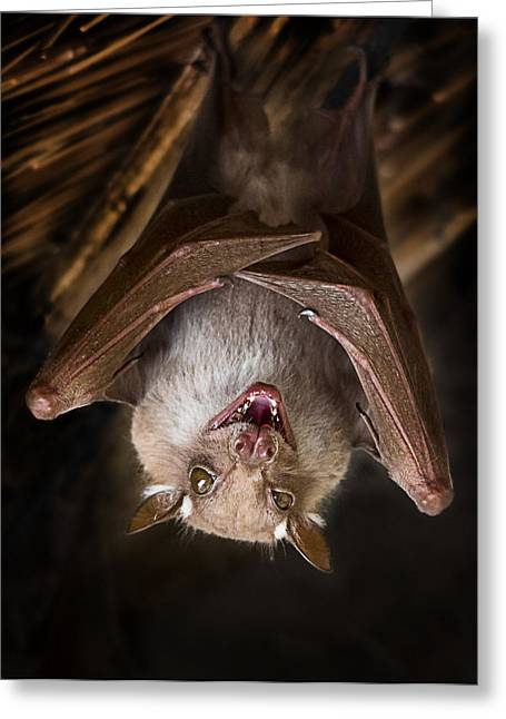 Bat Hanging In The Kruger National Park Greeting Card by Ronel Broderick
