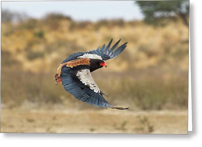 Bateleur Eagle In Flight Greeting Card by Tony Camacho
