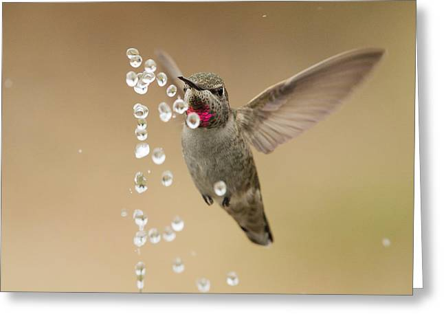 Bath Time For Anna's Hummingbird Greeting Card