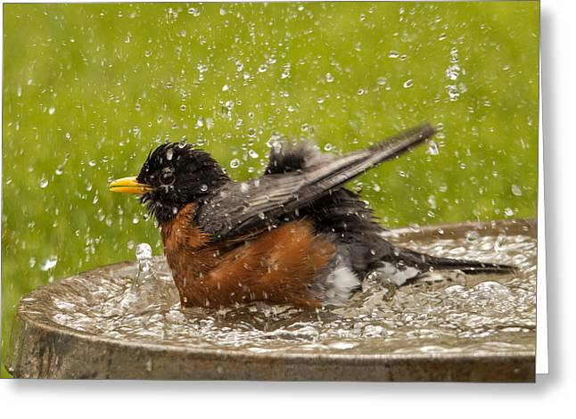 Bathing Robin Greeting Card by Inge Riis McDonald
