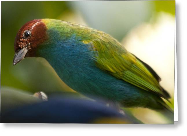 Bay-headed Tanager - Tangara Gyrola Greeting Card by Heiko Koehrer-Wagner