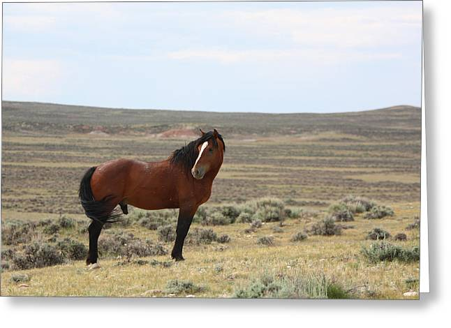 Bay Mustang Stallion In Wyoming Greeting Card
