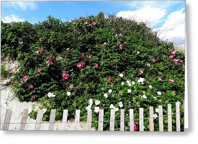 Beach Roses On The Dunes Greeting Card