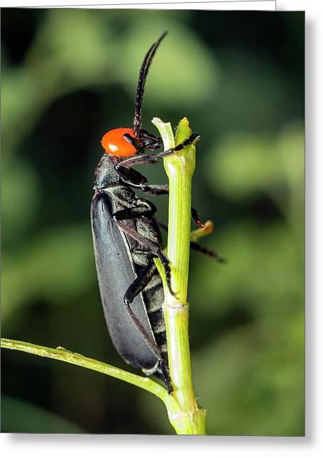 Bean Blister Beetle Greeting Card by Pan Xunbin