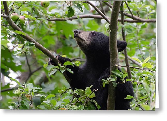 Bear Cub And Apples Greeting Card