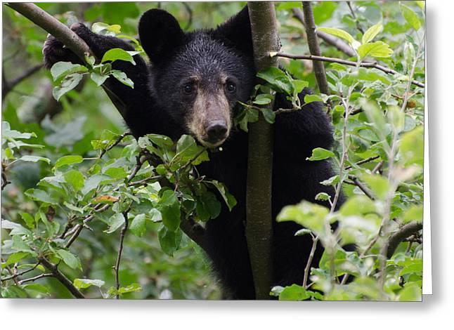 Bear Cub In Tree Greeting Card