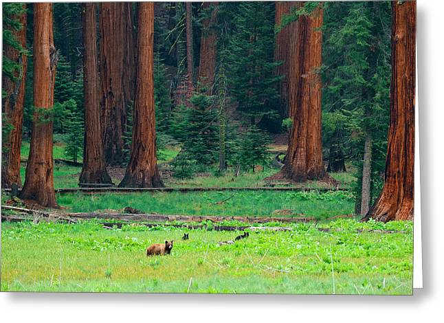 Bear In Sequoia National Park Greeting Card
