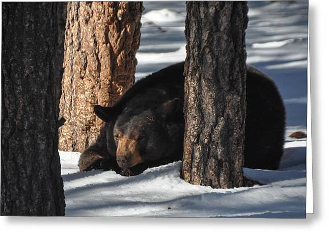 Bear Sleeping In The Woods Greeting Card by Pamela Schreckengost