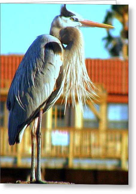 Greeting Card featuring the photograph Bearded Great Blue Heron by Antonia Citrino