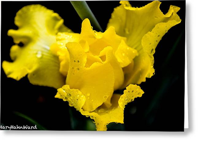 Bearded Iris Morning Dew Greeting Card