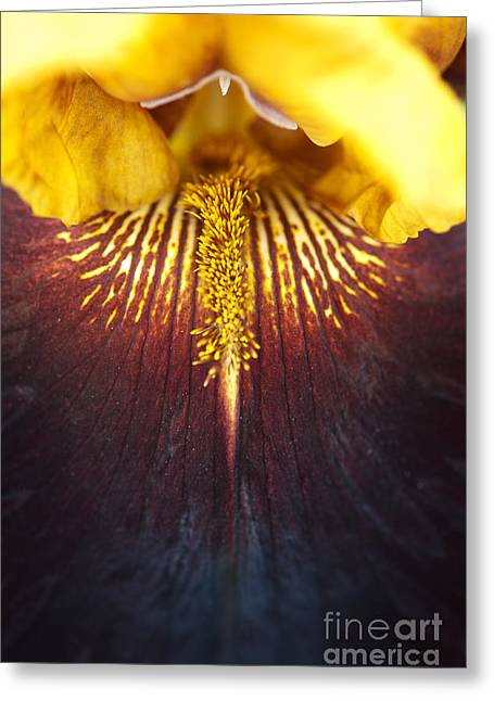 Bearded Iris 'supreme Sultan' Greeting Card by Tim Gainey