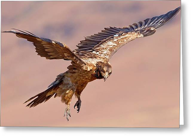 Bearded Vulture In Flight Greeting Card by Bildagentur-online/mcphoto-schaef