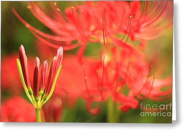 Beautiful Amaryllis Flower Red Spider Lily Aka Resurrection Lily Greeting Card