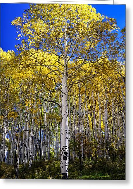 Beautiful Aspen Tree Greeting Card by Rendell B