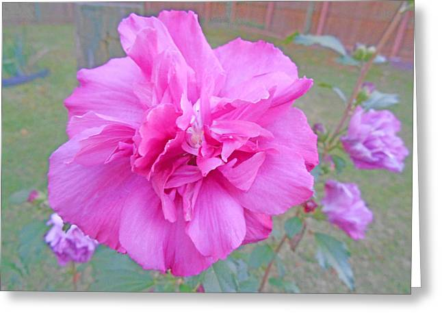 Beautiful Blooming Fuschia Rose Greeting Card