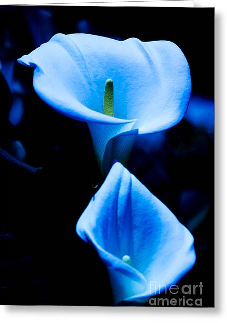 Beautiful Blue Calla Lilies Greeting Card