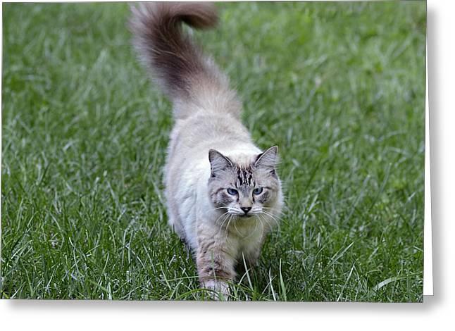 Beautiful Blue Eyed Cat Walking In Grass Greeting Card by Susan Leggett
