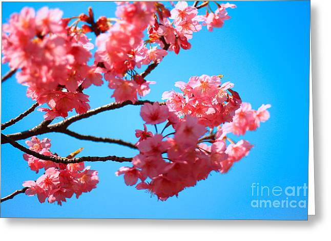 Beautiful Bright Pink Cherry Blossoms Against Blue Sky In Spring Greeting Card