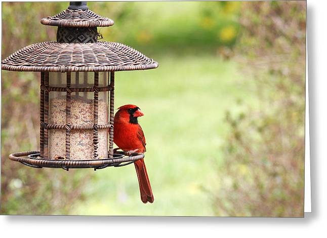 Greeting Card featuring the photograph Beautiful Cardinal by Trina  Ansel