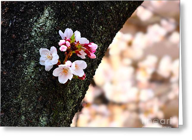 Beautiful Cherry Blossoms Blooming From Tree Trunk Greeting Card