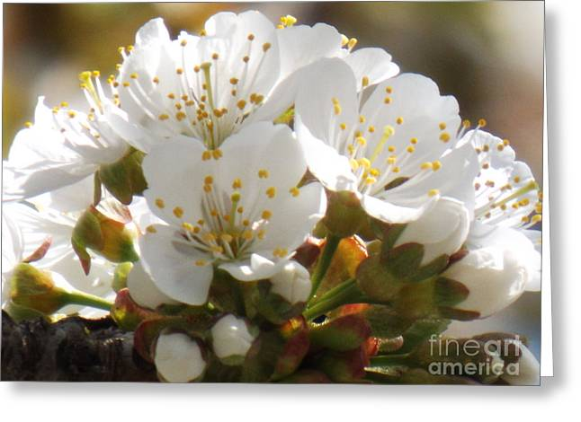 Beautiful Cherry Blossoms Greeting Card by Brenda Brown