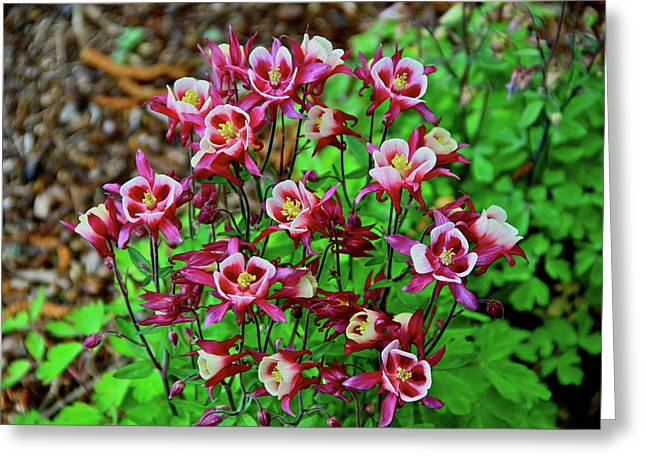 Beautiful Columbine   Greeting Card by Ed  Riche