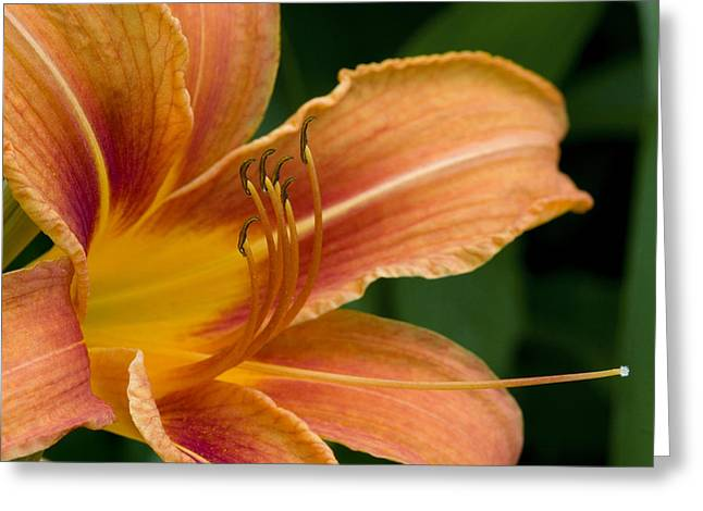 Beautiful Daylily Greeting Card by Gene Walls