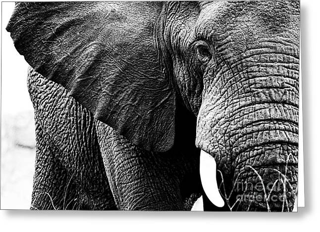 Beautiful Elephant Black And White 1 Greeting Card