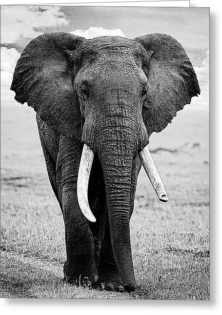 Beautiful Elephant Black And White 17 Greeting Card