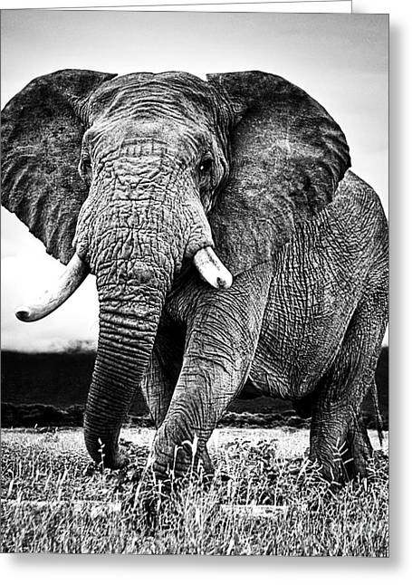 Beautiful Elephant Black And White 33 Greeting Card