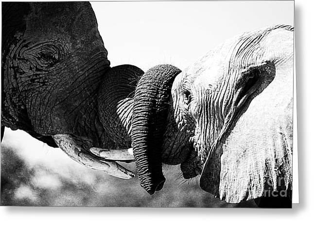 Beautiful elephant black and white 47 greeting card by boon mee