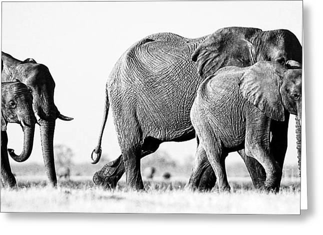 Beautiful Elephant Black And White 55 Greeting Card by Boon Mee