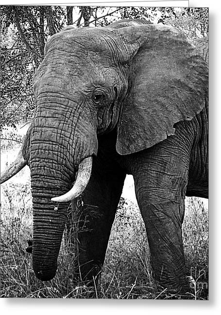 Beautiful Elephant Black And White 59 Greeting Card