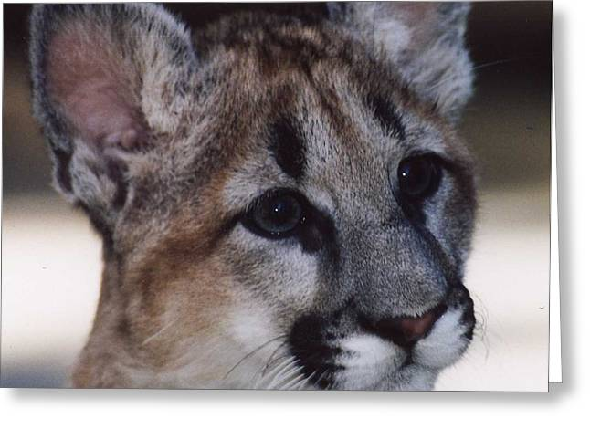 Beautiful Face-cougar Cub Greeting Card