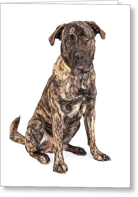 Beautiful Giant Breed Dog Sitting Greeting Card by Susan Schmitz