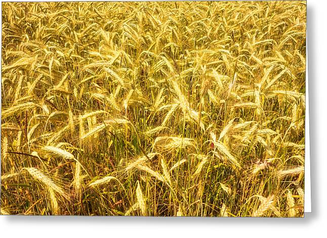 Beautiful Golden Cornfield Greeting Card by Matthias Hauser