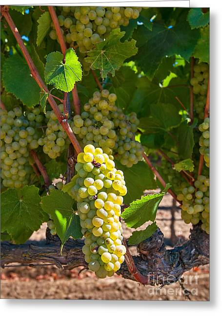 Beautiful Grapes From Wine Vineyards In Napa Valley California. Greeting Card by Jamie Pham