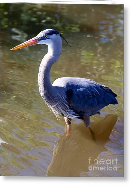 Beautiful Great Blue Heron In Swamp Greeting Card by Carol Groenen