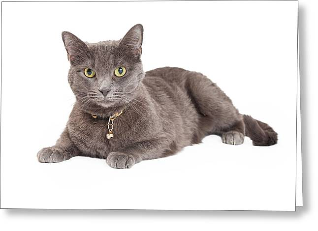 Beautiful Grey Domestic Shorthair Cat Laying Greeting Card