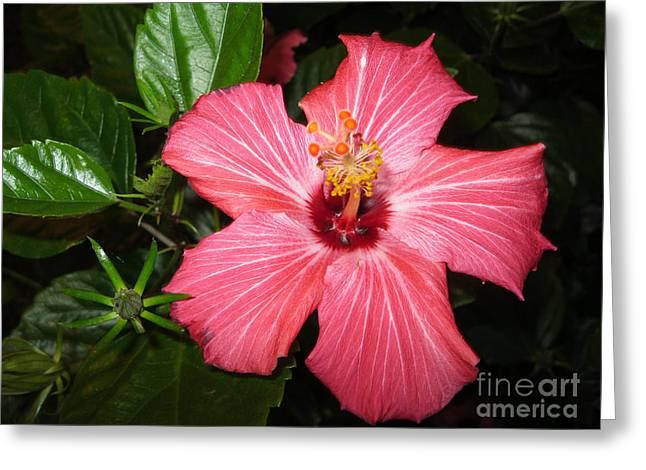 Beautiful Hibiscus Greeting Card by Oksana Semenchenko
