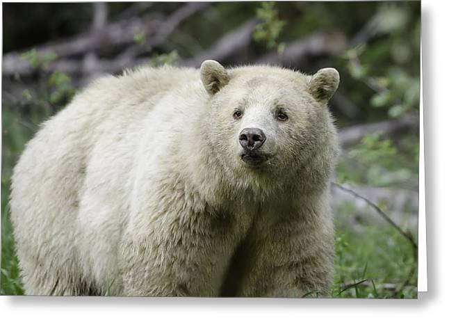 Beautiful Kermode Bear Greeting Card by Lisa Hufnagel