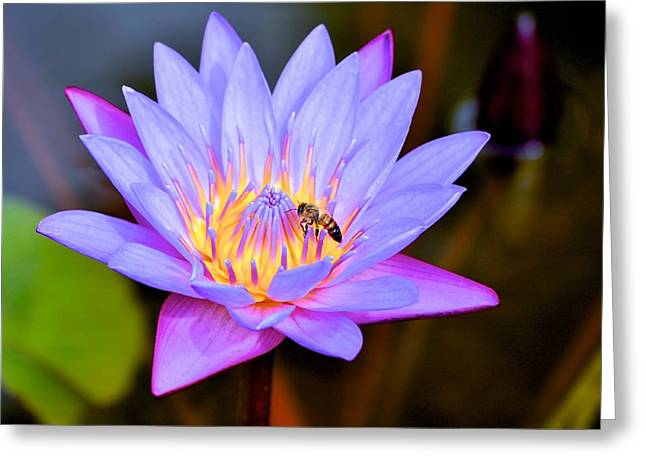 Beautiful Lily And Visiting Bee Greeting Card by Kristina Deane