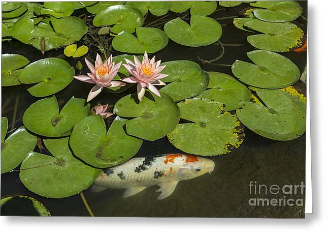 Beautiful Lily Pond With Pink Water Lilies In Bloom With Koi Fis Greeting Card