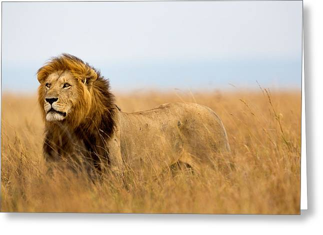 Beautiful Lion Caesar In Masa Mara Greeting Card by Maggy Meyer