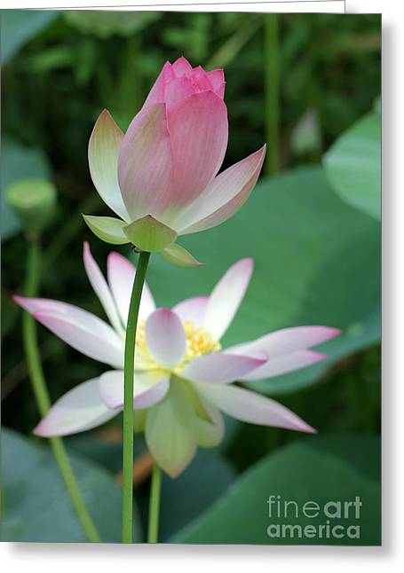 Beautiful Lotus Blooming Greeting Card