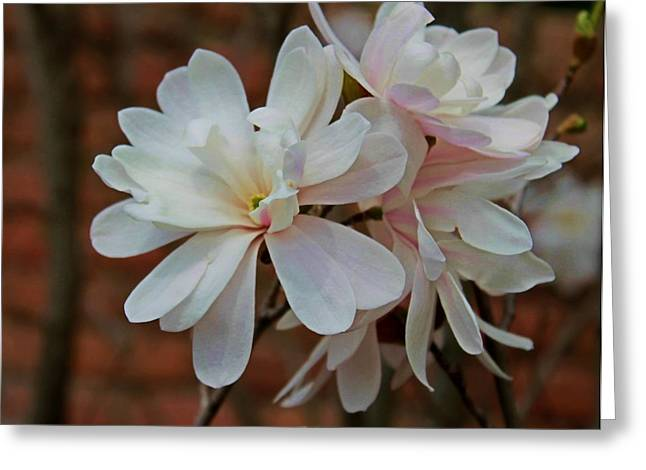 Beautiful Magnolias Greeting Card by Victoria Sheldon