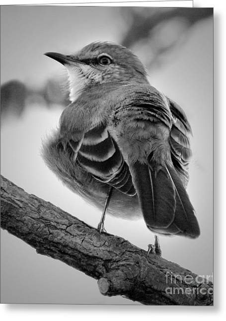 Greeting Card featuring the photograph Beautiful Mockingbird by Anita Oakley