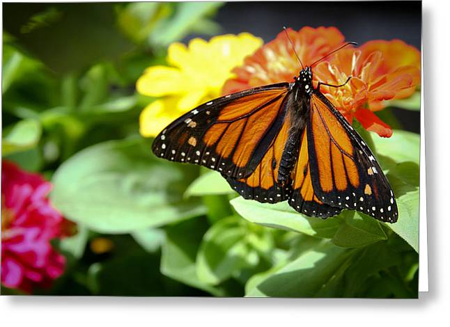 Beautiful Monarch Butterfly Greeting Card by Patrice Zinck