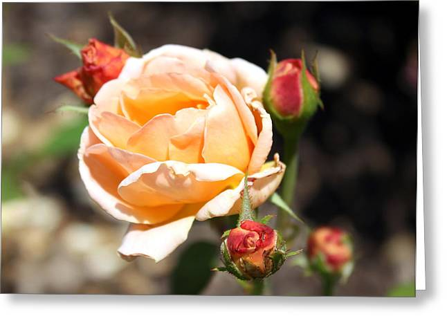 Greeting Card featuring the photograph Beautiful Peach Orange Rose by Ellen Tully